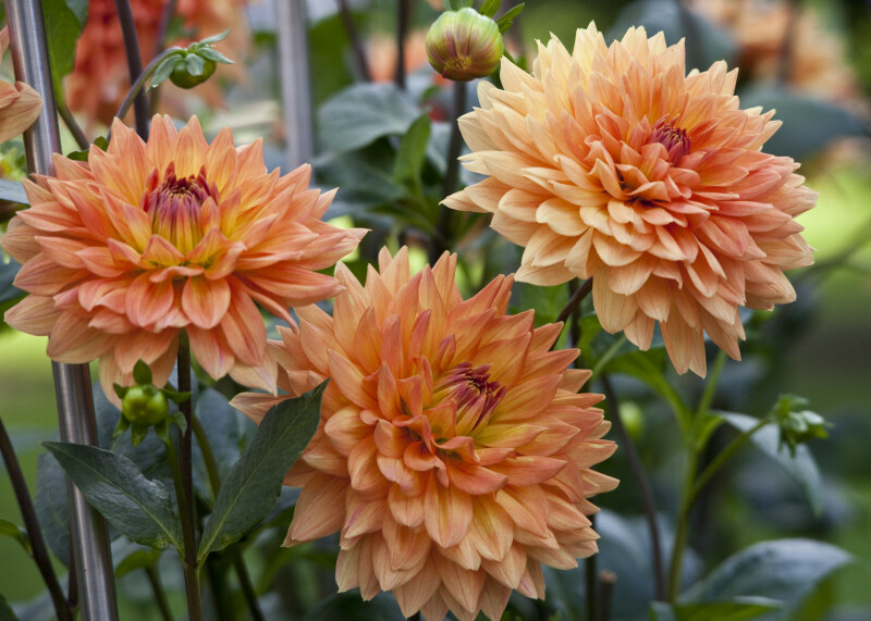 """Antenne Bradenburg"" Dahlia Flowers"