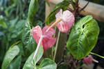 """Anthurium andreanum """"Pale Pink"""""""