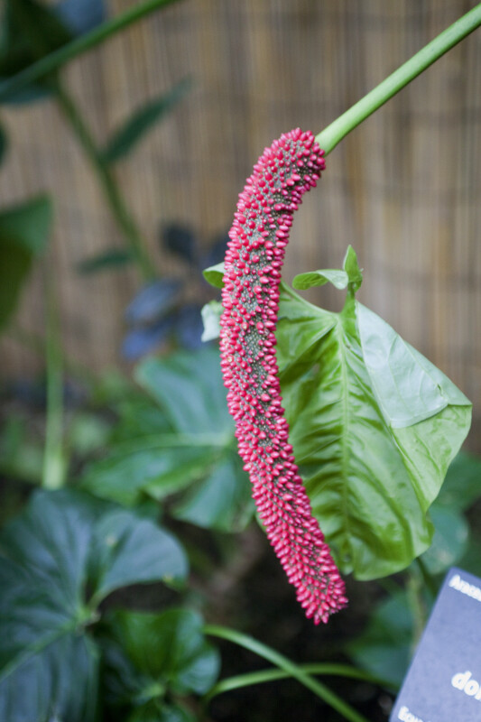 Anthurium dolichostachyum Close-Up