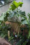 Anthurium dolichostachyum