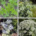 Apiaceae Family photographs