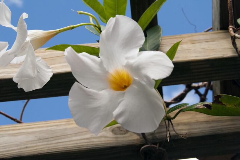 Apocynaceae Flower