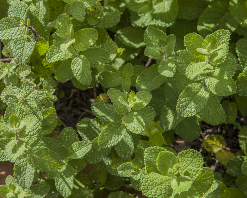 Apple Mint Plant at The Fruit and Spice Park