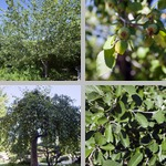 Apple Trees photographs
