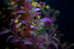 Aquatic Plant with Purple and Green Coloring