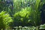 Aquatic Plants in Water Tank