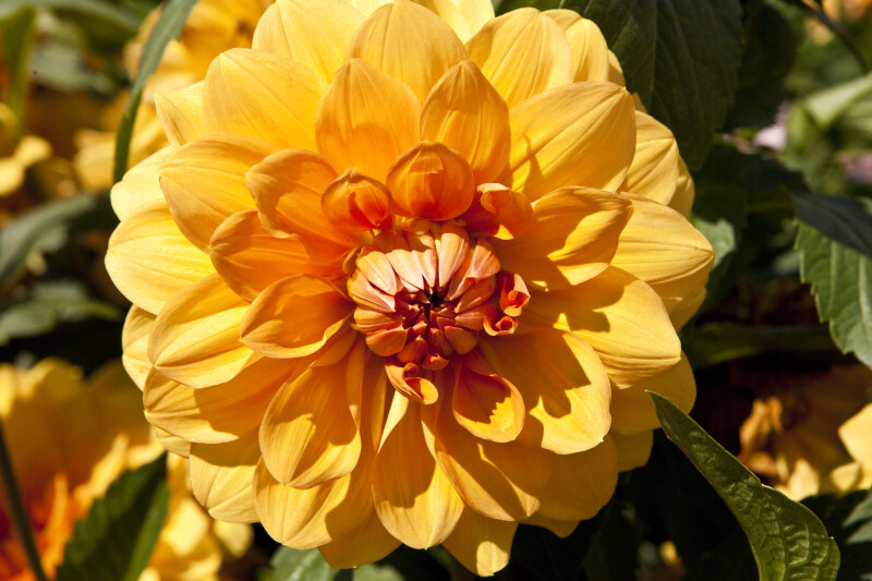 """Arc de Triomphe"" Dahlia Close-Up"