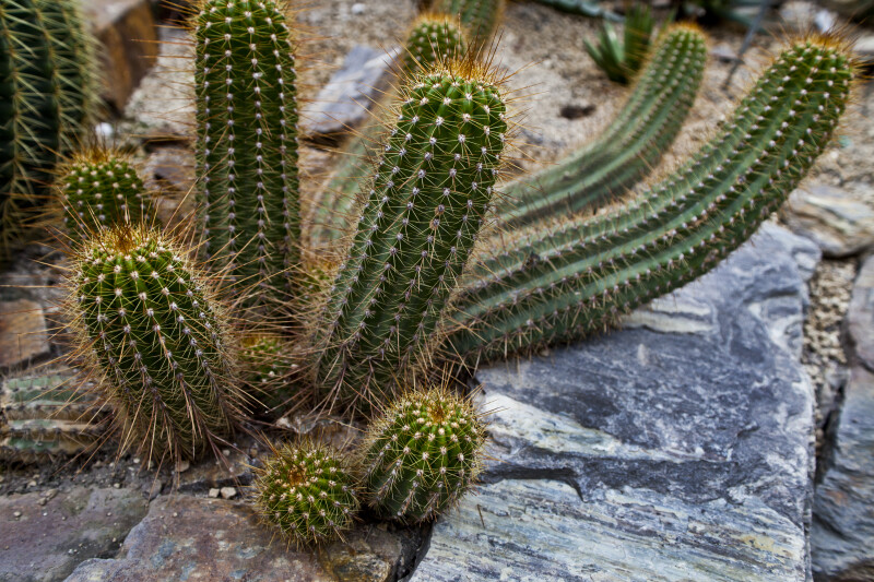 argentine giant cactus clippix etc educational photos