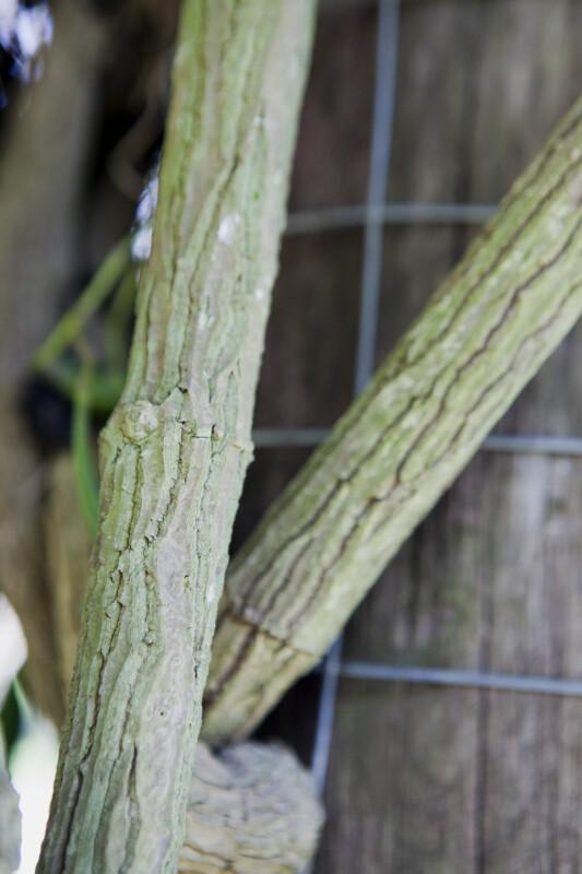 Aristolochia maxima Vine