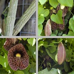 Aristolochia photographs