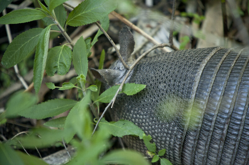 Armadillo Close-up