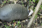 Armadillo Looking for Food