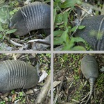 Armadillos photographs