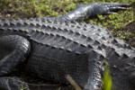 Armored Back of an American Alligator
