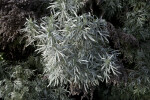 Artemisia arborescens Leaves