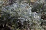 """Artemisia """"Hawkhill"""""""