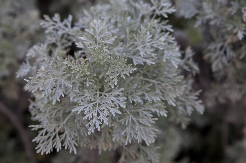 Artemisia x Powis castle Leaves