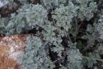 Artemisia x Powis castle