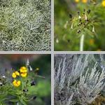 Artemisia photographs
