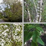 Ash Trees photographs
