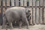 Asian Elephant Carrying Object at the Artis Royal Zoo