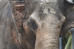 Asian Elephant Close-Up