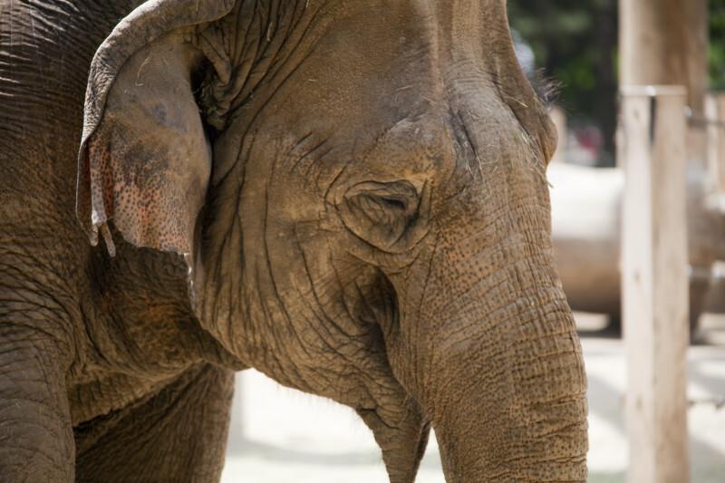 Asian Elephant Close-Up