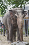 Asian Elephant Flapping Large, Thin Ears