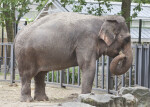 Asian Elephant Holding Small Clump of Hay with Trunk