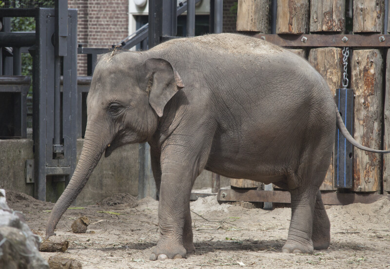 Asian Elephant Standing in Enclosure at the Artis Royal Zoo
