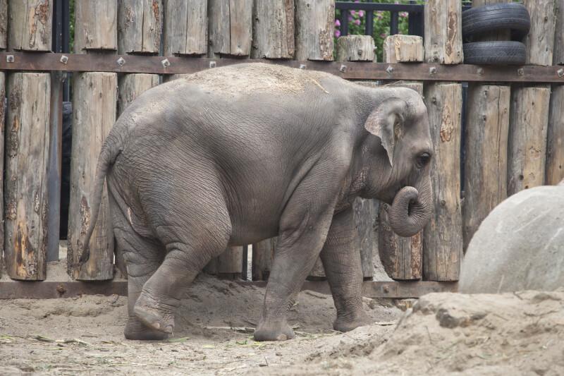 Asian Elephant Walking at the Artis Royal Zoo
