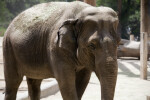 Asian Elephant Walking