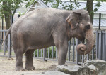 Asian Elephant with Trunk Curled