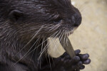 Asian Small Clawed Otter Close-Up