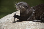 Asian Small Clawed Otter Eating