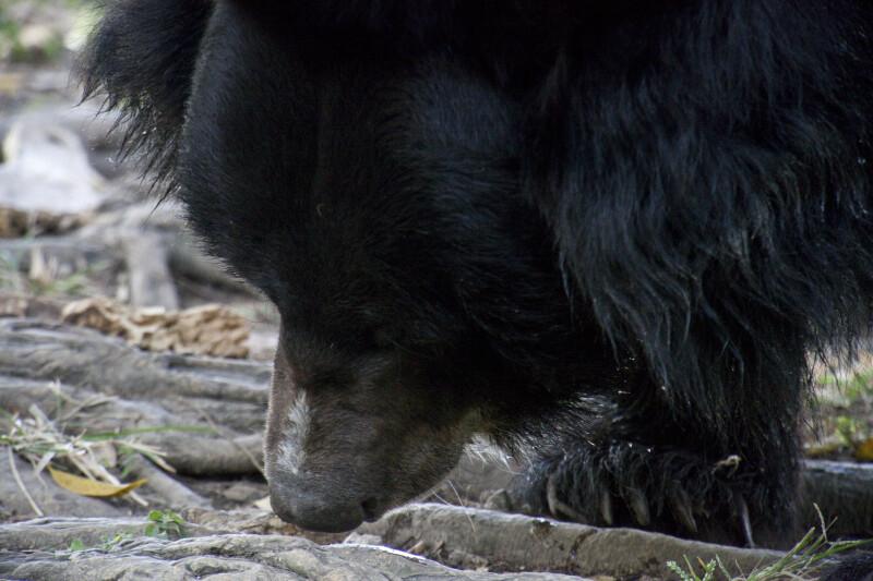 Asiatic Black Bear Walking