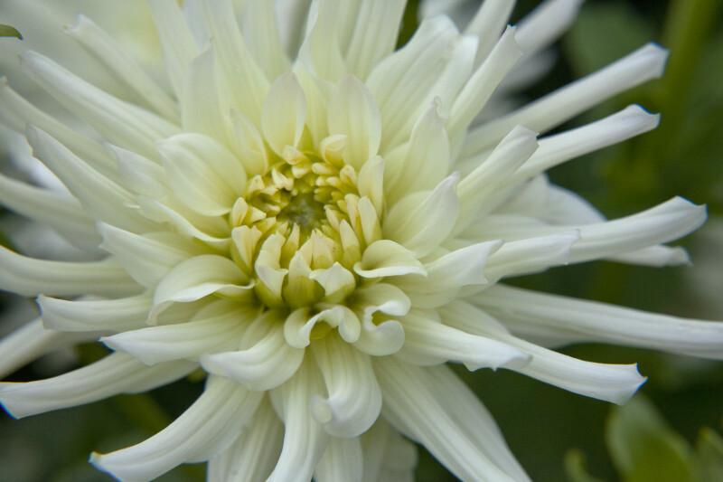 Aspen Dahlia Flower