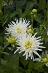 Aspen Dahlia Flowers and Buds