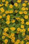 Asteraceae Shrub