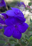 """Athens Blue"" Tibouchina Flower"