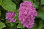 """Atlantic"" Dahlia Flowers"