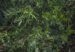 Atlantic White Cedar Leaves