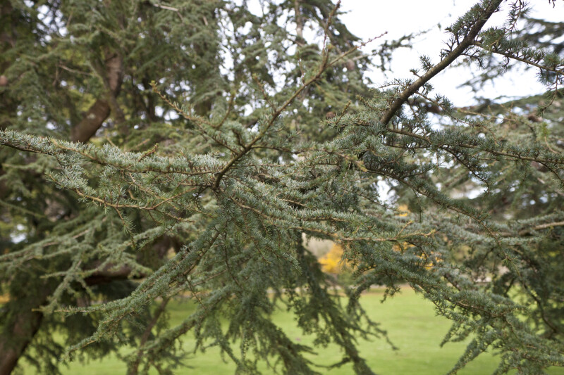 Atlas Cedar Branches