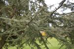 Atlas Cedar Branches