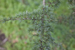Atlas Cedar Leaves