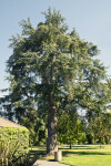 Atlas Cedar Tree at Capitol Park in Sacramento