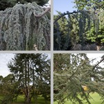 Atlas Cedar Trees photographs