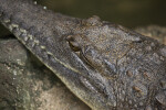 Australian Freshwater Crocodile Close-Up