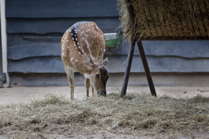 Axis Deer Eating Hay at the Artis Royal Zoo