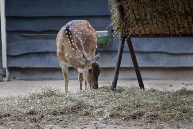 Axis Deer Eating Hay at the Artis Royal Zoo